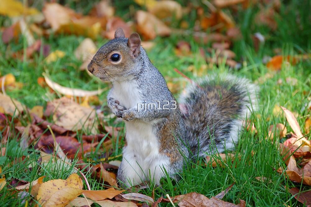 Grey Squirrel by pjm123