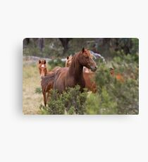 Wild Brumbies - Kosciuszko National Park, NSW Canvas Print