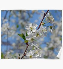 Cherry flowers Poster