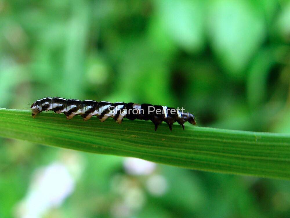A Stripey caterpillar by Sharon Perrett