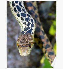 Gopher Snake. Figueroa Mountain, Santa Ynez, CA Poster