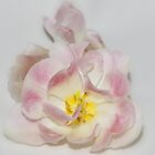 Angelique Tulip on White by AnnDixon