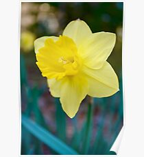 Daffodil Simple Bliss Poster