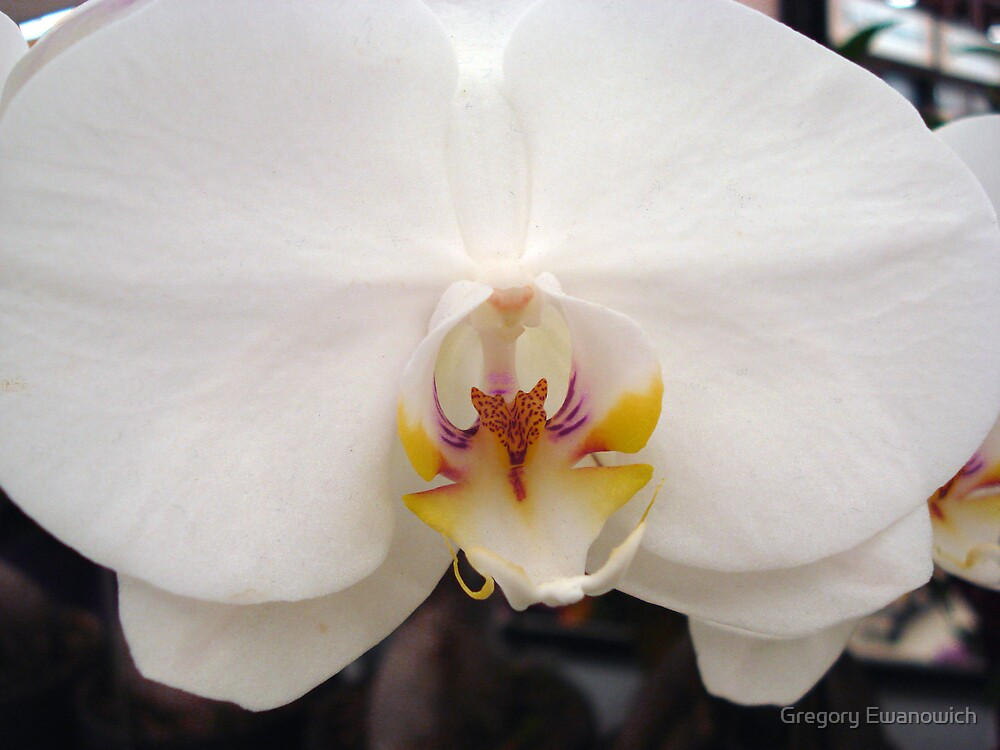 White Orchid by Gregory Ewanowich