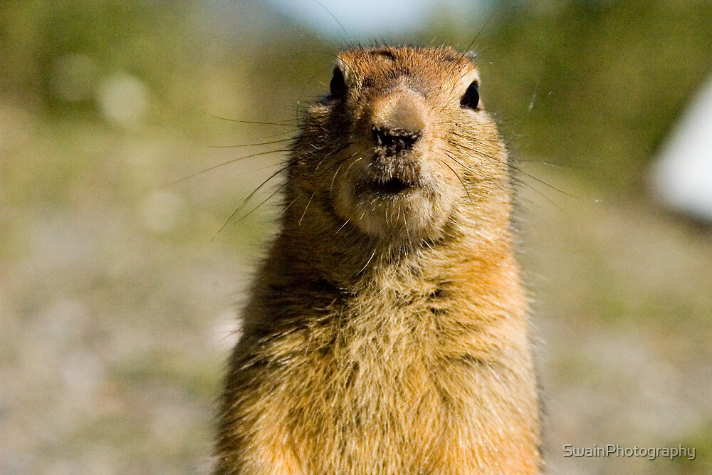 Arctic Ground Squirrel  by SwainPhotography