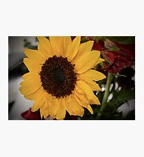 Sunflower Song Photographic Print