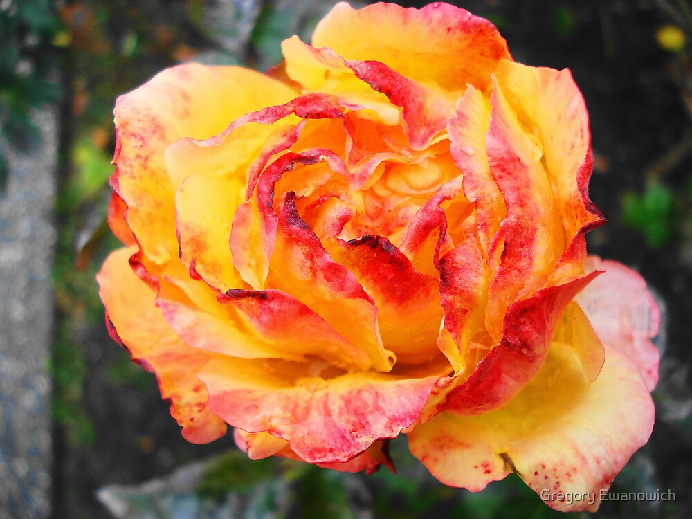 Full Peach Rose  by Gregory Ewanowich