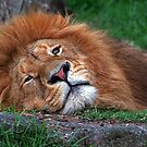 Laid Back Lion by Robyn Carter