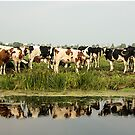 Cows and their reflective image by Adriana Zoon