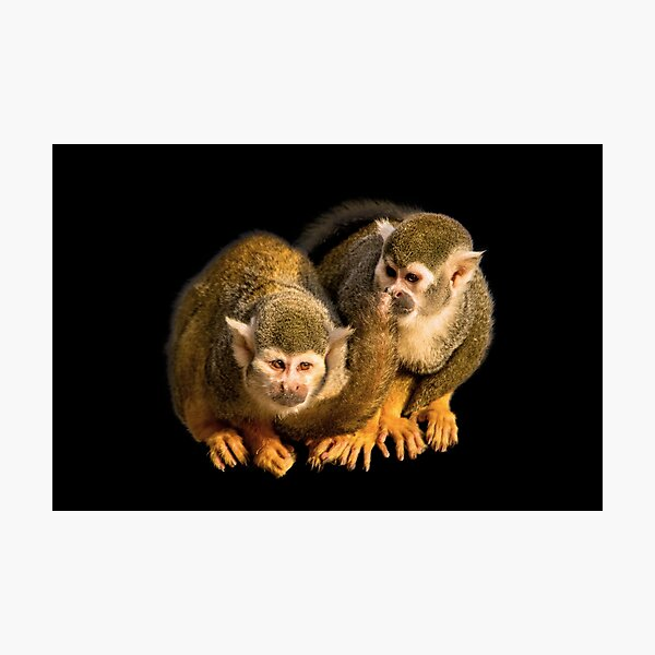 Two squirrel monkeys agains black background Photographic Print
