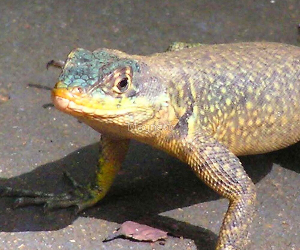 South American Lizard 2 by Magnetic