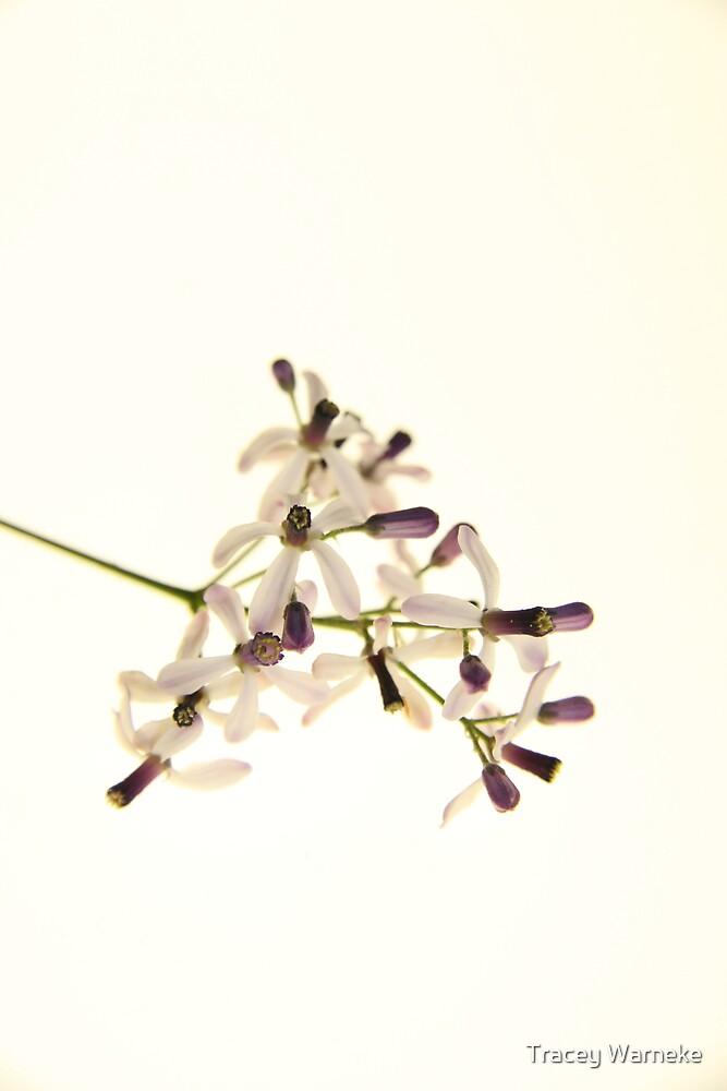 White Cedar flowers (Melia Azedarach) by Tracey Warneke