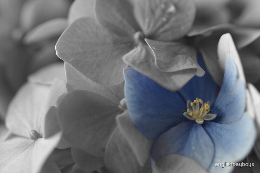 Hydrangea 4 by englishbayboys