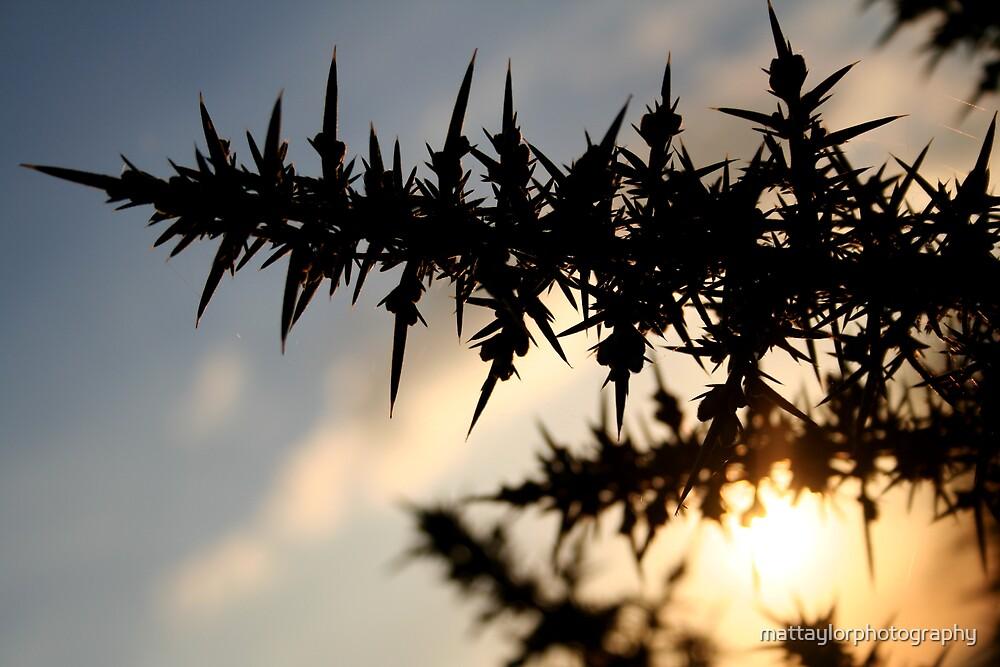 Thorny Shrubery by mattaylorphotography