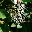 Butterfly in Saint Martin by Tanya Boutin