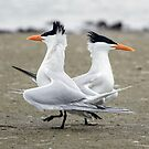 Royal Terns by SuddenJim