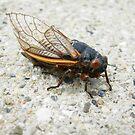 Cicada by Tanya Boutin