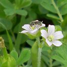 Wild Geraniums with Tiny Bee by Navigator