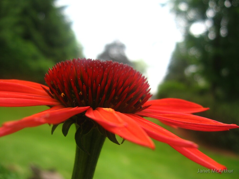 red coneflower by Janet McArthur