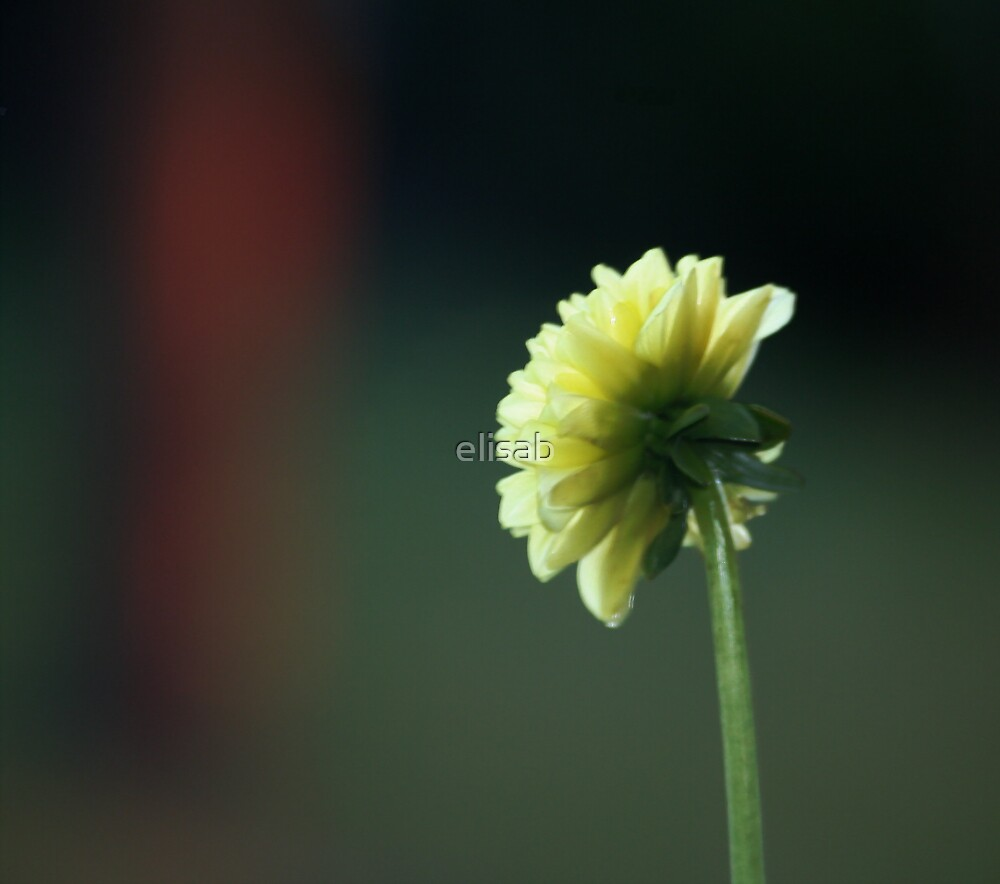 Dahlia in bloom by elisab