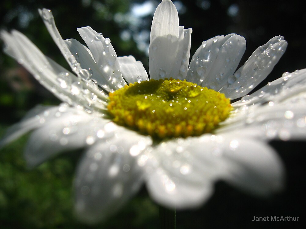 wet daisy by Janet McArthur