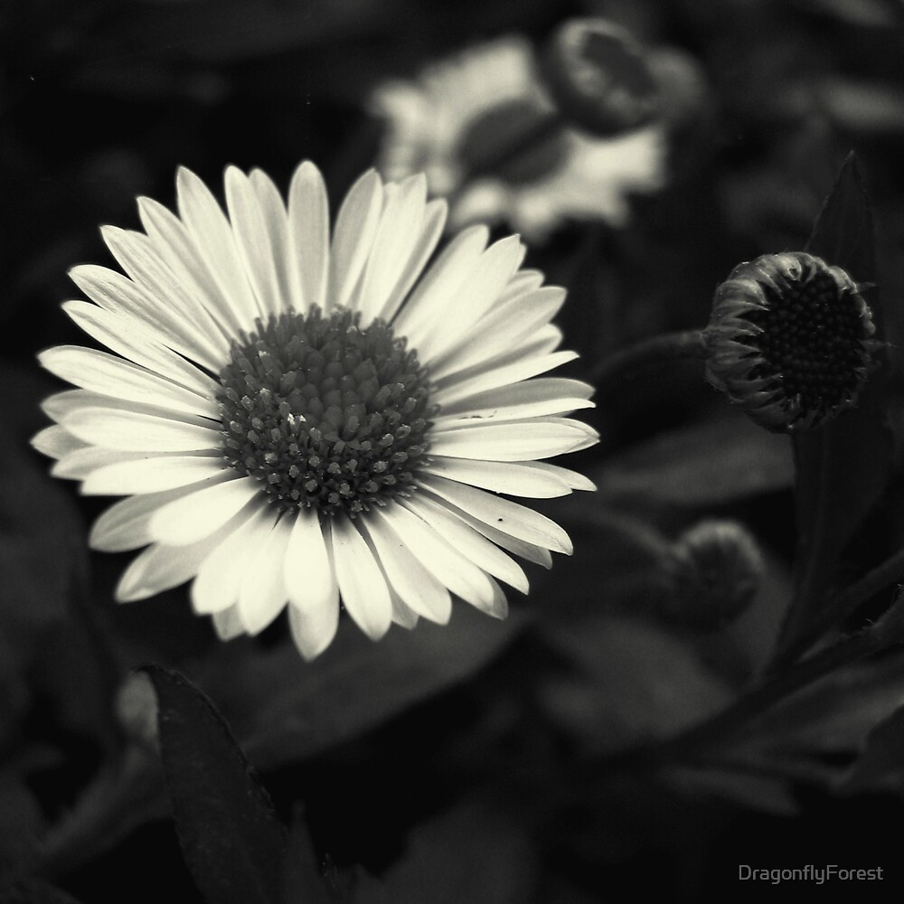 Miniature Daisy by DragonflyForest