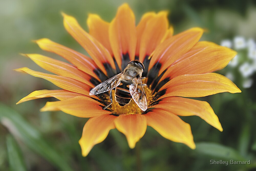Bee on flower by Shelley Barnard