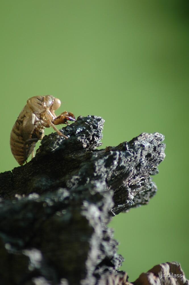 cicada shell by jindilass