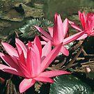 Lily By The Pond by Teody Gaspar