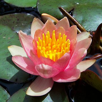 Water Lilly by gmack