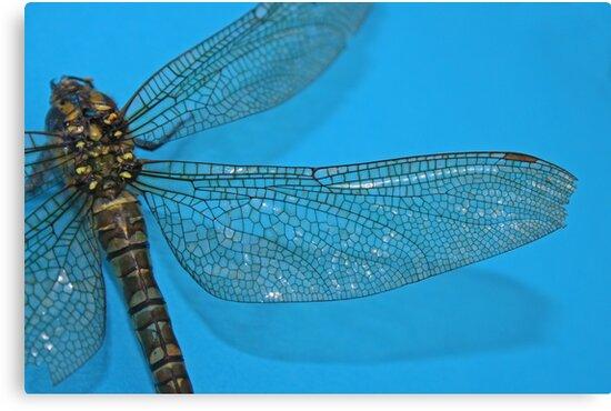 Dragonfly on blue by allisond