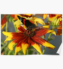 Admiral butterfly on Rudbekia Poster
