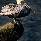 Brown Pelican on Post by Jonicool