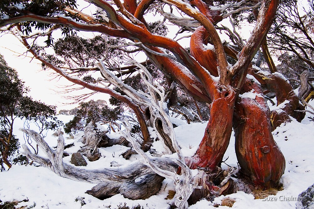 Snow Gum by Suze Chalmers