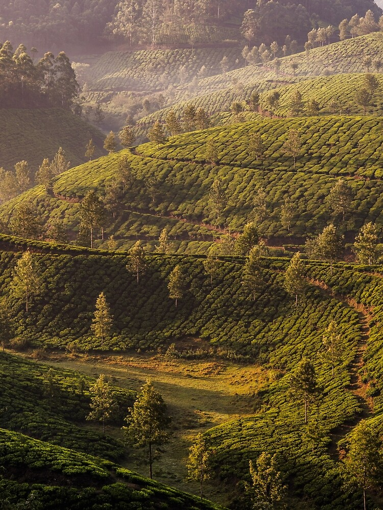Tea plantation, Devikolam, Munnar by berrega