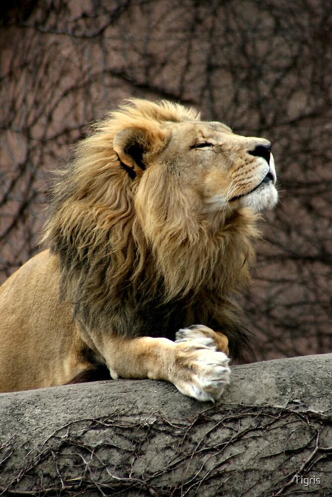 Lion by Tigris