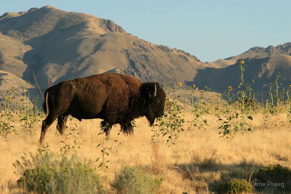 American Buffalo by Gene Praag