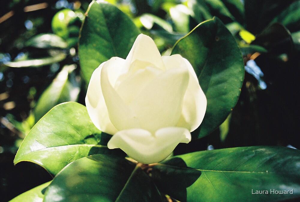 Magnolia Blossom by Laura Howard