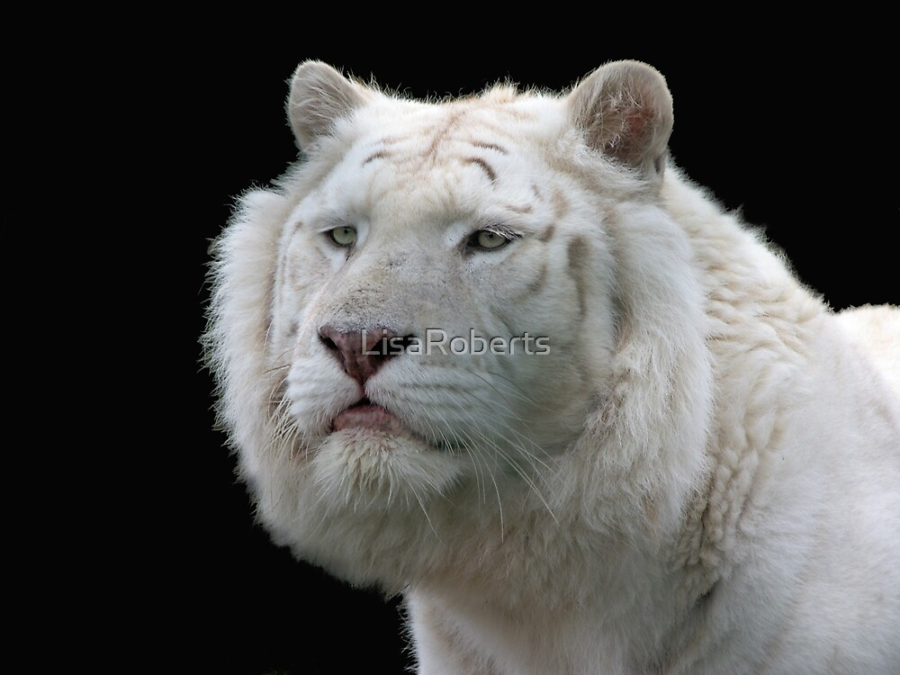 White tiger by LisaRoberts