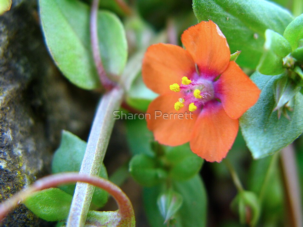 Scarlet Pimpernel by Sharon Perrett