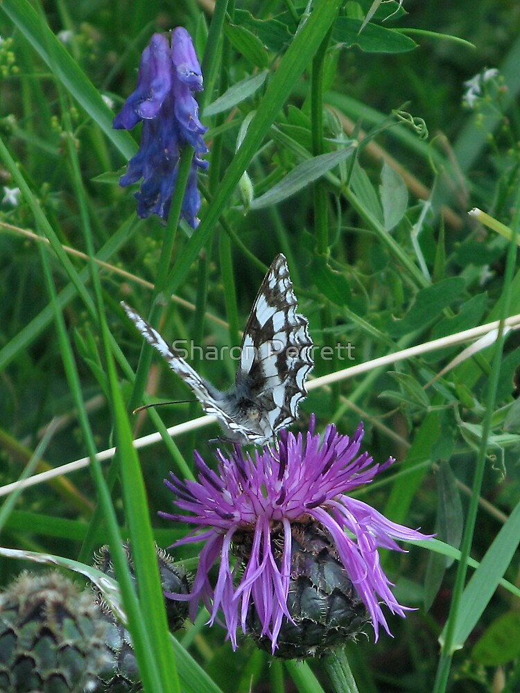 Marble White & Greater Knapweed by Sharon Perrett