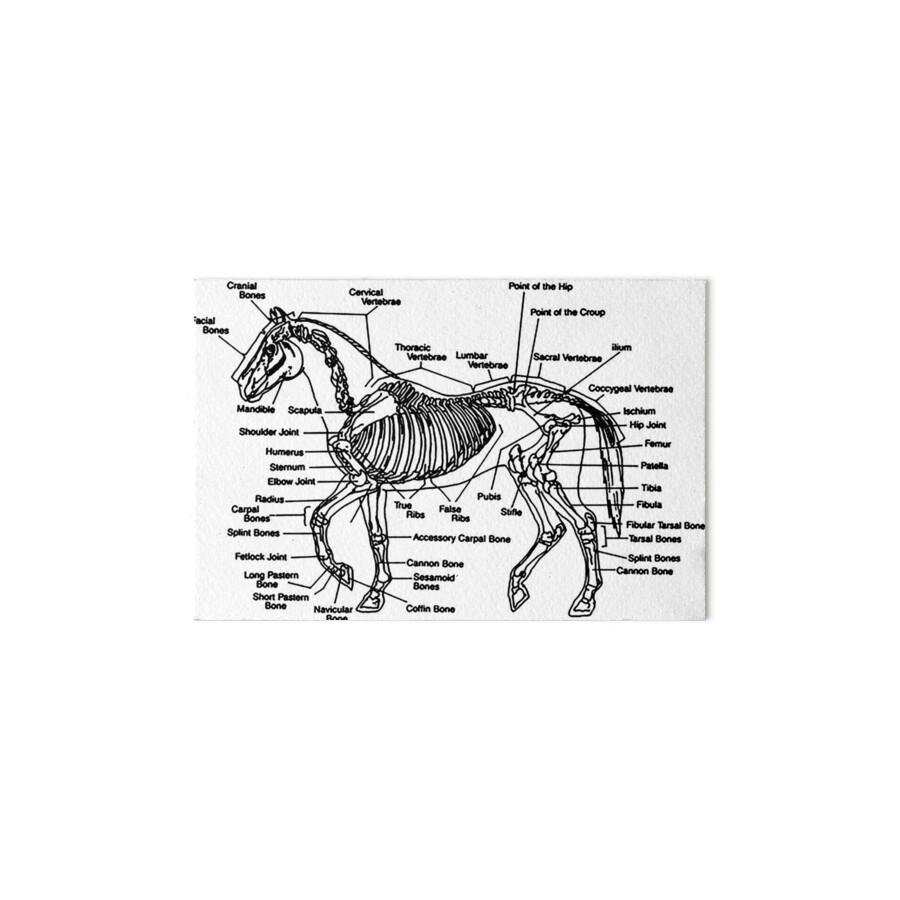 Fine Cannon Bone Horse Anatomy Gallery Human Anatomy Images