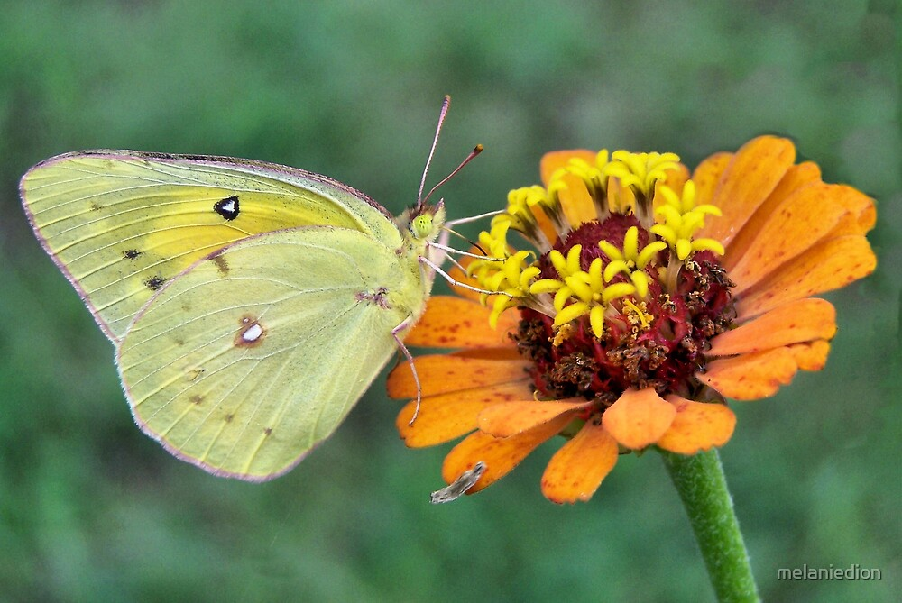 Yellow Butterfly by melaniedion