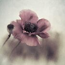 Dusty pink poppy by Priska Wettstein