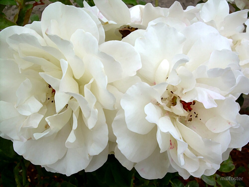 White Rose by mwfoster