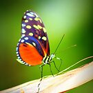Butterfly Costa Rica by Alicia  Summerville