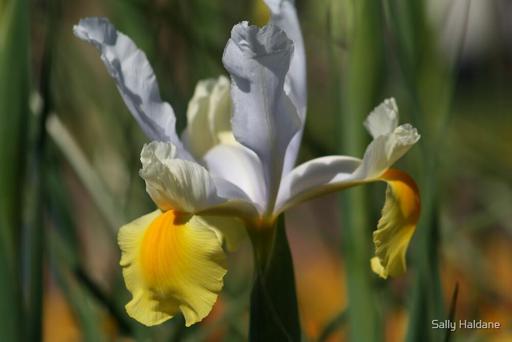 Iris by Sally Haldane