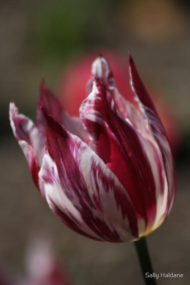 Tulip Stripe by Sally Haldane
