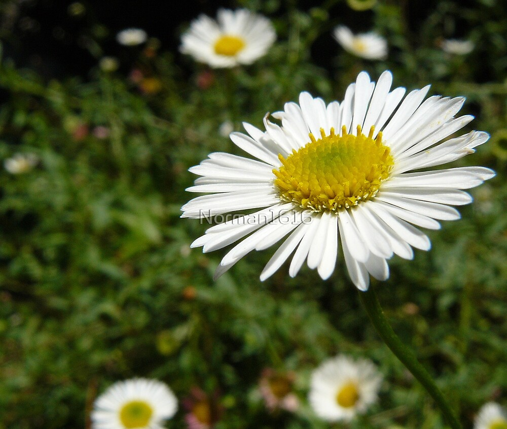 Daisy by Norman1616