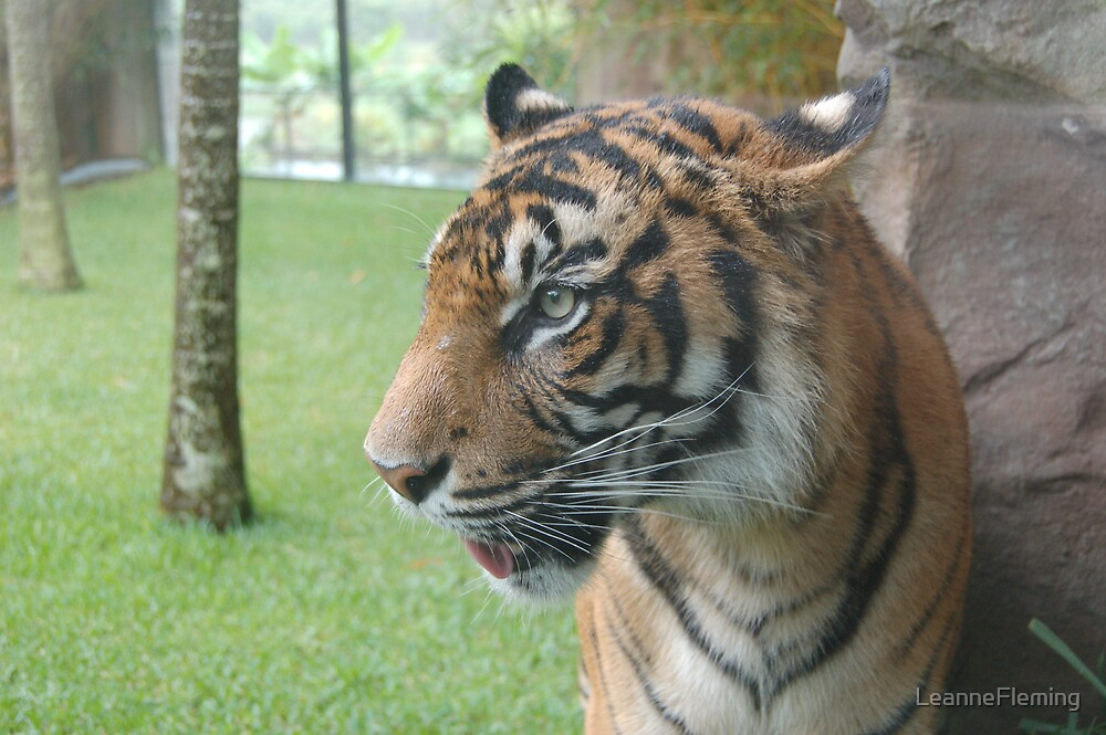 Tiger at Oz Zoo by LeanneFleming